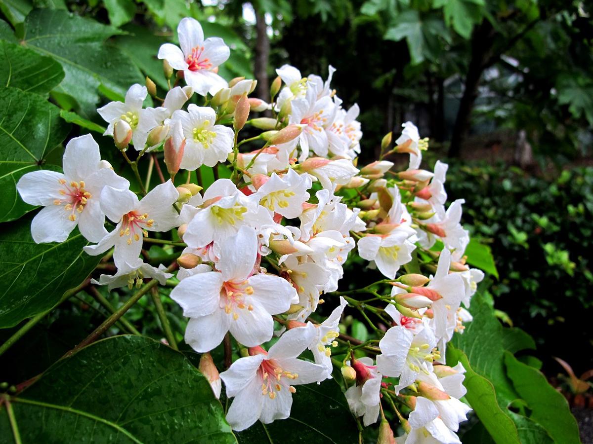 桃園客家桐花季-可樂旅遊提供