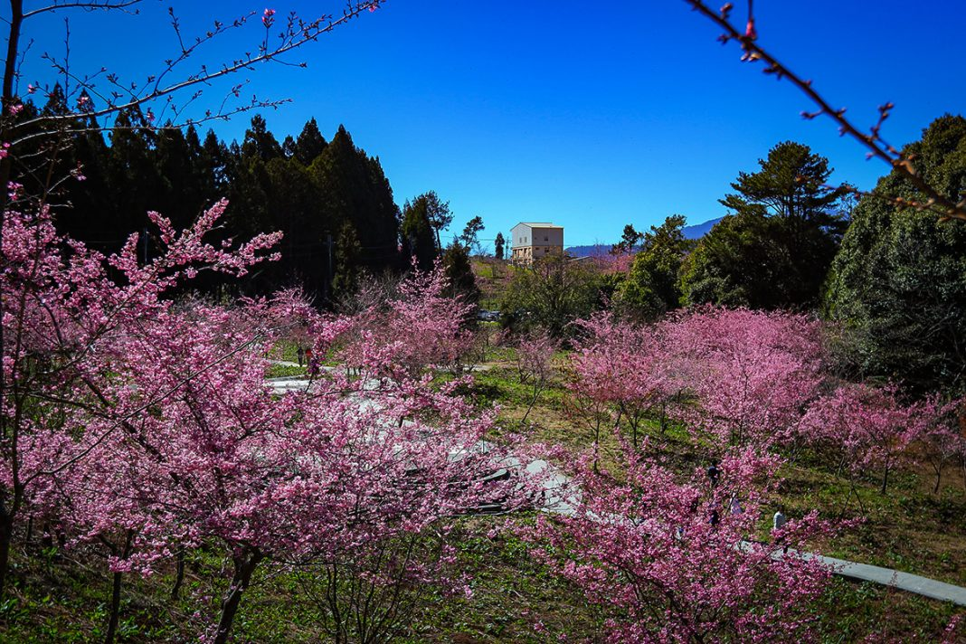交通部觀光局參山國家風景區內的梨山、南庄等地櫻花都已逐漸盛開,八卦山風景區也有梅花、李花接力綻放。
