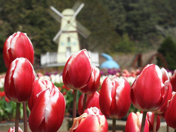 杉林溪鬱金香花季從春節到三月,自荷蘭進口廿多種花色的鬱金香