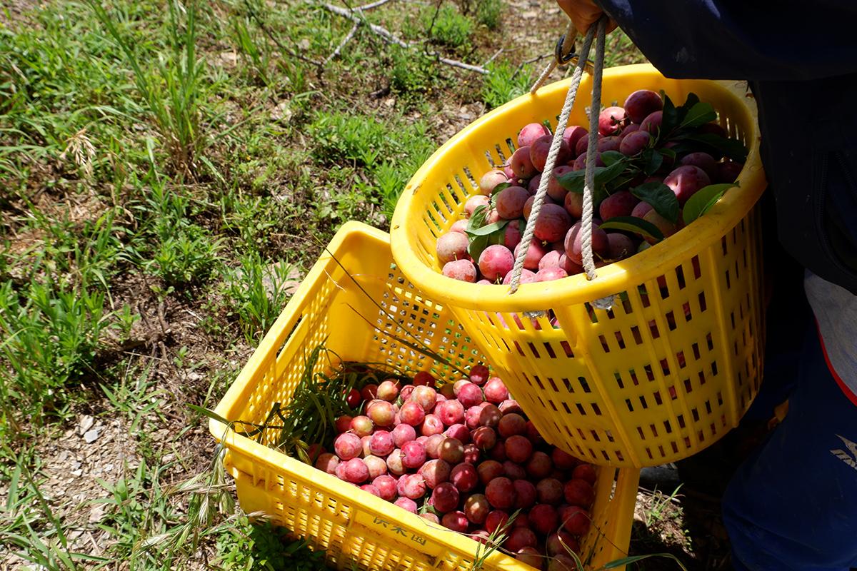 西瓜李種植在海拔一千二百至二千公尺的高山上,日夜溫差大,甜度可以充分累積在果實